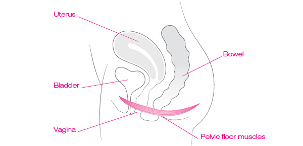 diagram of pelvic floor's position in the body