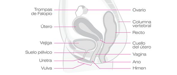 Más allá de la vagina: anatomía interna femenina